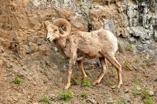 Free Rocky Mountain Big Horn Sheep Royalty Free Stock Image - 20291756