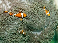 Free Clown Fish Stock Images - 20292034