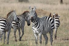 Free Heard Of Zebras Royalty Free Stock Image - 20292166
