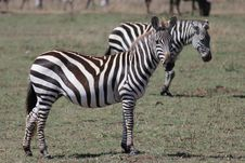 Free Zebra Royalty Free Stock Image - 20292426