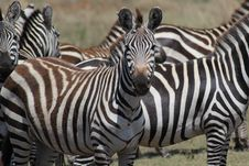 Free Heard Of Zebras Stock Photography - 20292632
