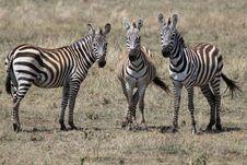 Free 3 Zebra Friends Royalty Free Stock Photos - 20292758