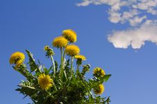 Free Dandelions With Blue Sky Stock Photos - 20293103