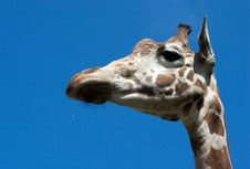 Free Giraffe S Head Royalty Free Stock Photos - 20293188