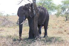 Free Elephant Royalty Free Stock Photos - 20293218
