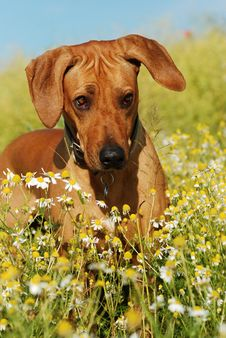 Free Summer Portrait Of Rhodesian Ridgeback Stock Photos - 20293553
