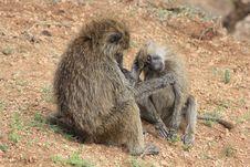 Free Monkey Royalty Free Stock Photo - 20293685