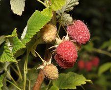 Free Raspberry Fruits Stock Photography - 20294262