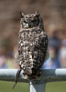 Free Eagle Owl On A Perch Stock Photography - 20295102