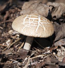 Free Solitary Wild Mushroom Stock Image - 20295171
