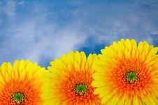 Free Yellow Chrysanthemums. Royalty Free Stock Photos - 20295508