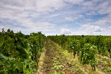 Free Vineyard And Blue Sky Royalty Free Stock Photos - 20295738
