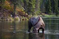 Free Moose Searching For Food In The Lake Stock Images - 20296774