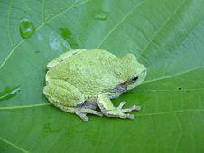 Free Northern Grey Treefrog Stock Photos - 20297293