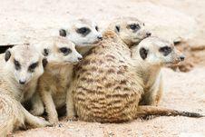 Free Meerkats Royalty Free Stock Image - 20299226
