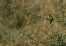 Swallow-Tailed Bee-Eater Royalty Free Stock Photos