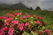 Free Rhododendron Stock Photos - 20299533