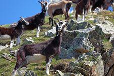 Free Goats Stock Image - 20299651