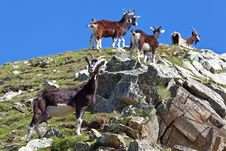 Free Goats Stock Images - 20299654