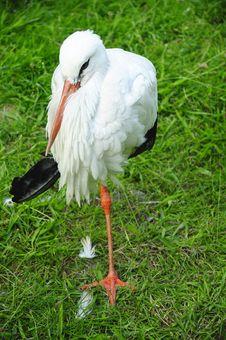 Free Stork Royalty Free Stock Photo - 20299925