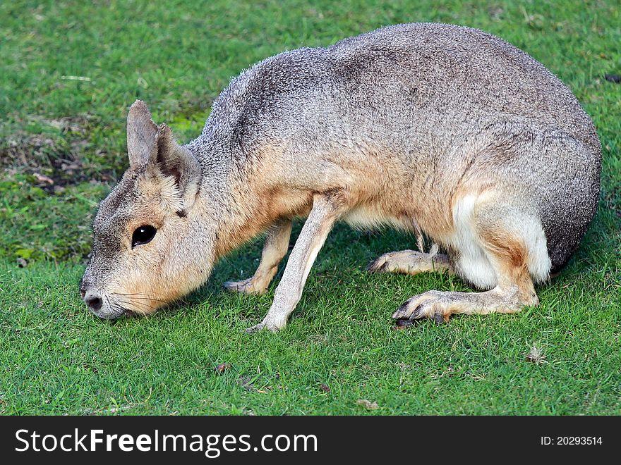 Pampas hare