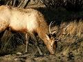 Free Eating Elk Royalty Free Stock Photo - 2033825