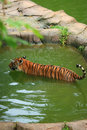 Free Malayan Tiger Bathing Royalty Free Stock Image - 2034496