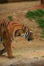 Free Malayan Tiger Walking Royalty Free Stock Images - 2034909