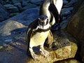 Free Penguins Stock Photos - 2036633