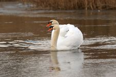 Free Pair Of Swans Stock Images - 2031374