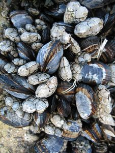 Free Mussels Royalty Free Stock Images - 2033249