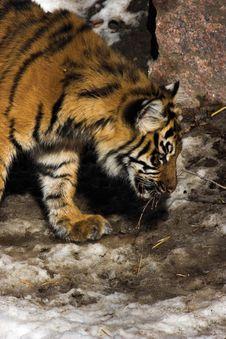 Free Tiger Royalty Free Stock Photo - 2033905