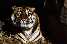 Free Tiger Royalty Free Stock Image - 2033906