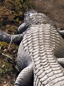 Free Crocodile Back Royalty Free Stock Photography - 2034267