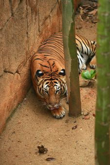 Malayan Tiger Resting Royalty Free Stock Images