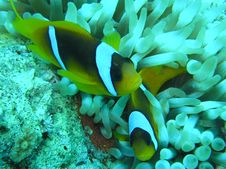 Free Clown Fish2 Royalty Free Stock Image - 2034516