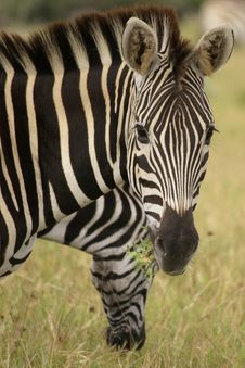 Free 2 Zebras Eating Stock Photos - 2034843