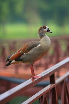 Free Duck Royalty Free Stock Photo - 2034905