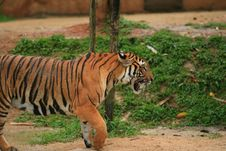 Free Malayan Tiger Walking Royalty Free Stock Photo - 2034975