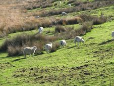 Free Sheep Grazing On A Welsh Hillside (UK) Stock Photography - 2039682