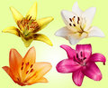Free Set Of Four Flowers Lilies Stock Images - 20302964