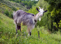 Free Goat On The Slopes Stock Photography - 20303152