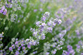 Free Purple Lavender Royalty Free Stock Photography - 20308047