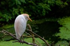 Free Cattle Egret Sitting On The Branch Royalty Free Stock Image - 20300426