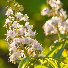 Free Сhestnut Tree Flowers Stock Image - 20300891