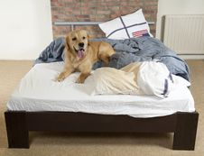 Free Golden Retriever Demolishes A Pillow Royalty Free Stock Images - 20302429