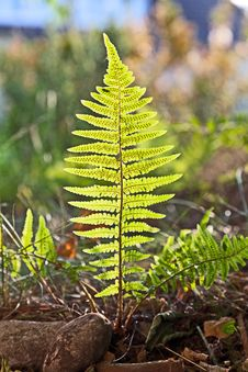 Beautiful Fern In Dense Forest Royalty Free Stock Photography