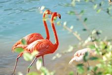 Free Flamingos Walking Two-by-two Royalty Free Stock Photography - 20302827