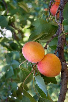 Free Ripe Apricots Stock Image - 20303521