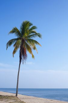 Free Coconut Tree Stock Photos - 20303673